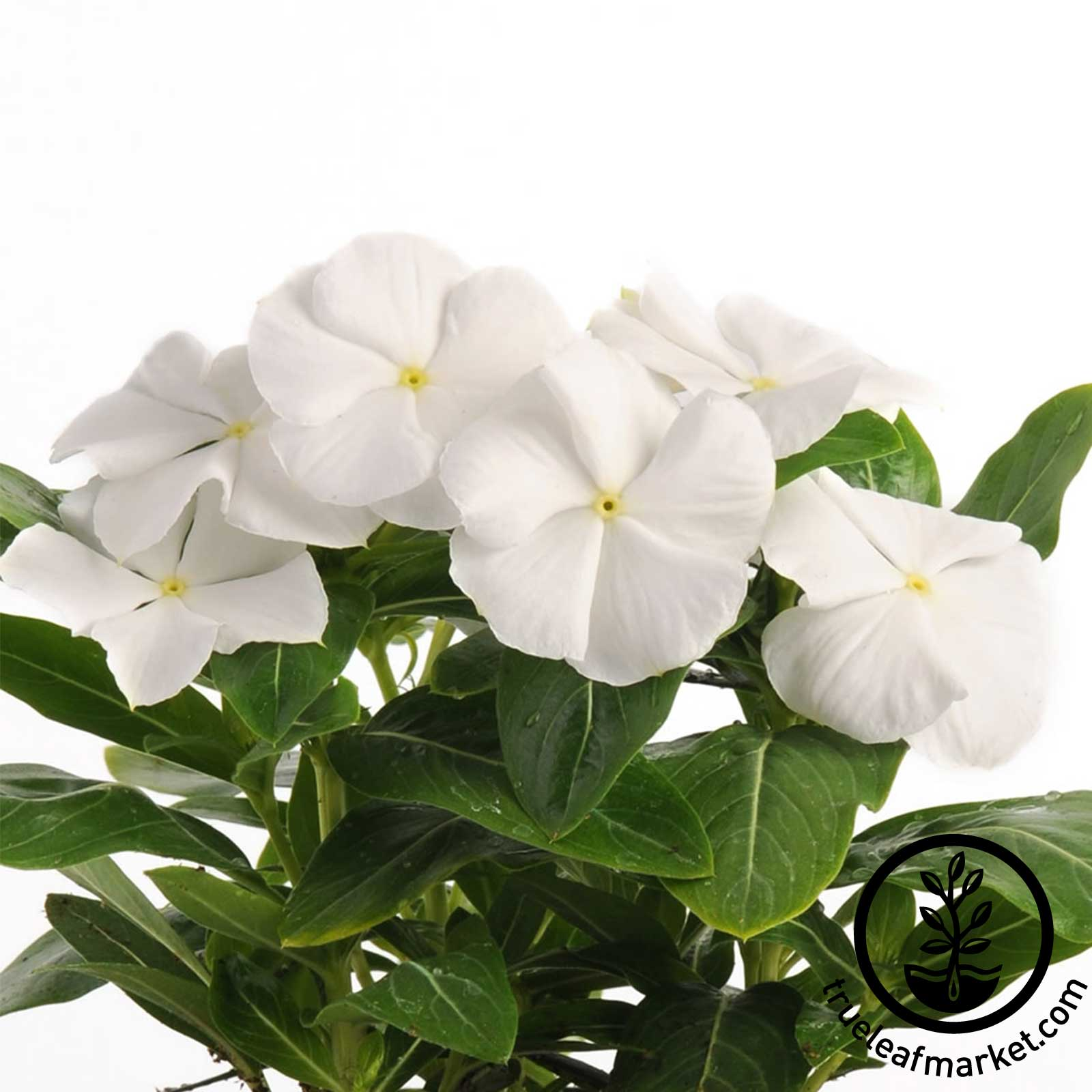 Vinca Pacifica XP Series White Seed