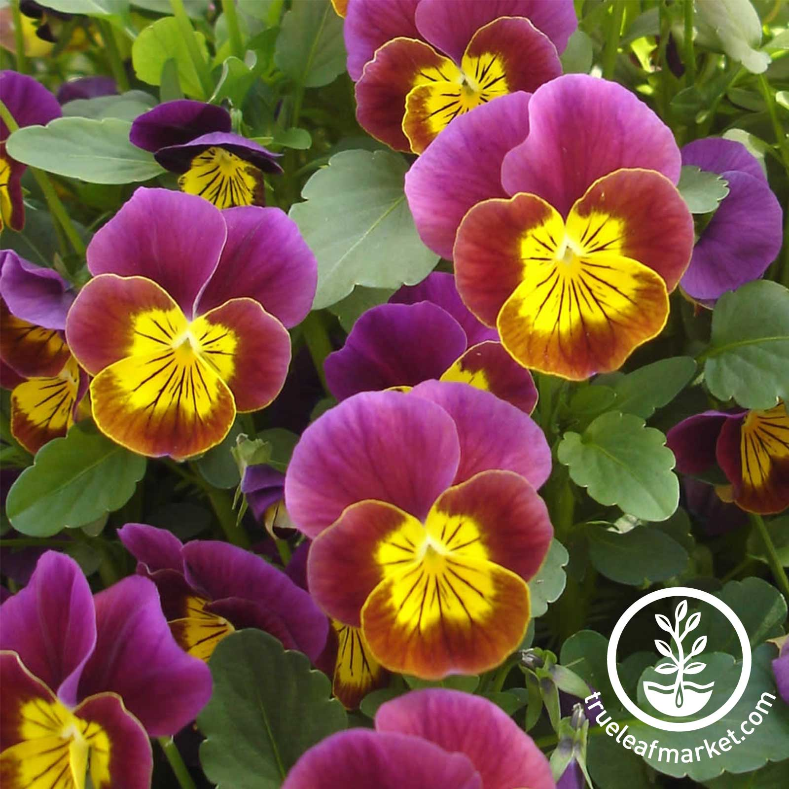 Viola Skippy XL Series Red Gold Seed