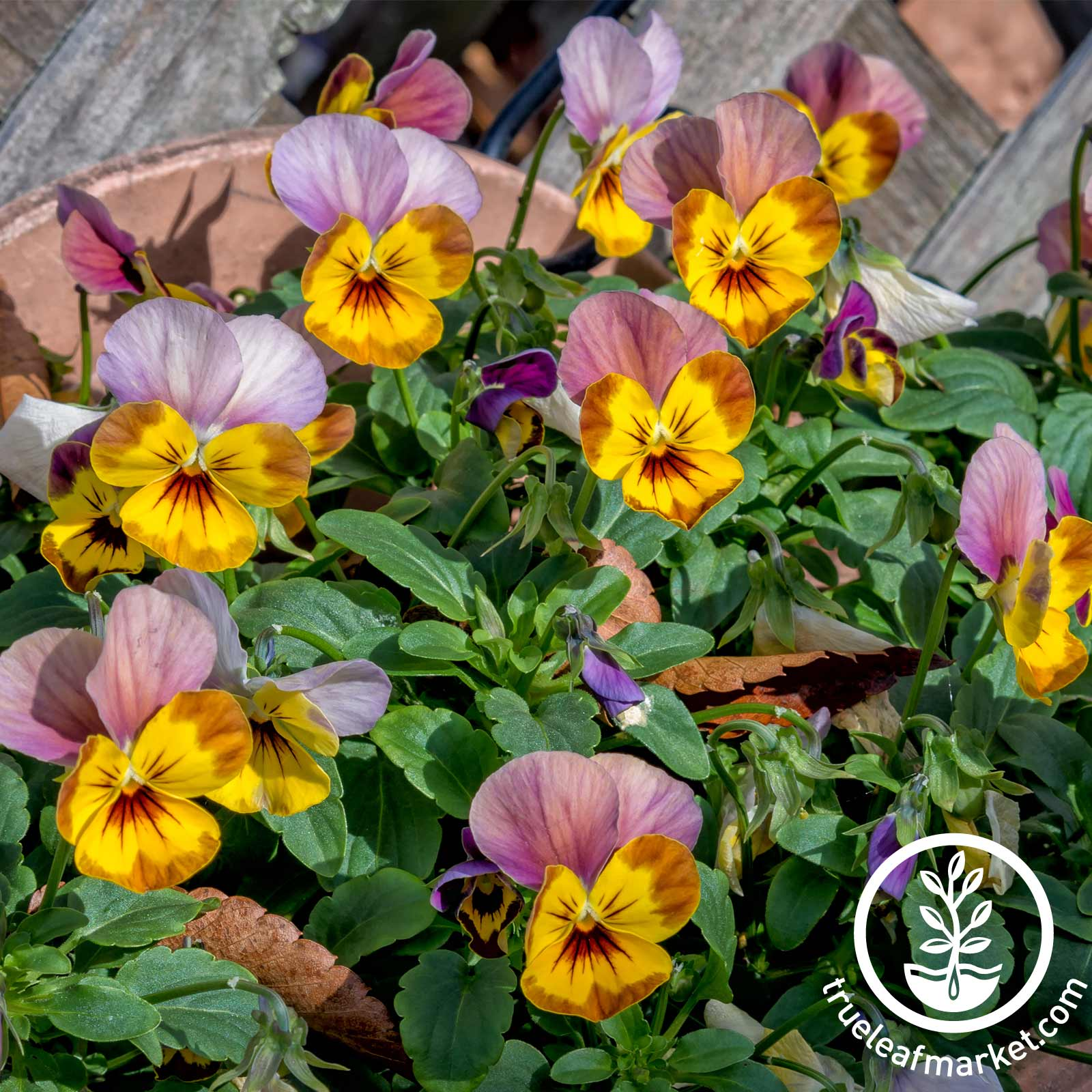 Viola Skippy XL Series Plum Gold Seed