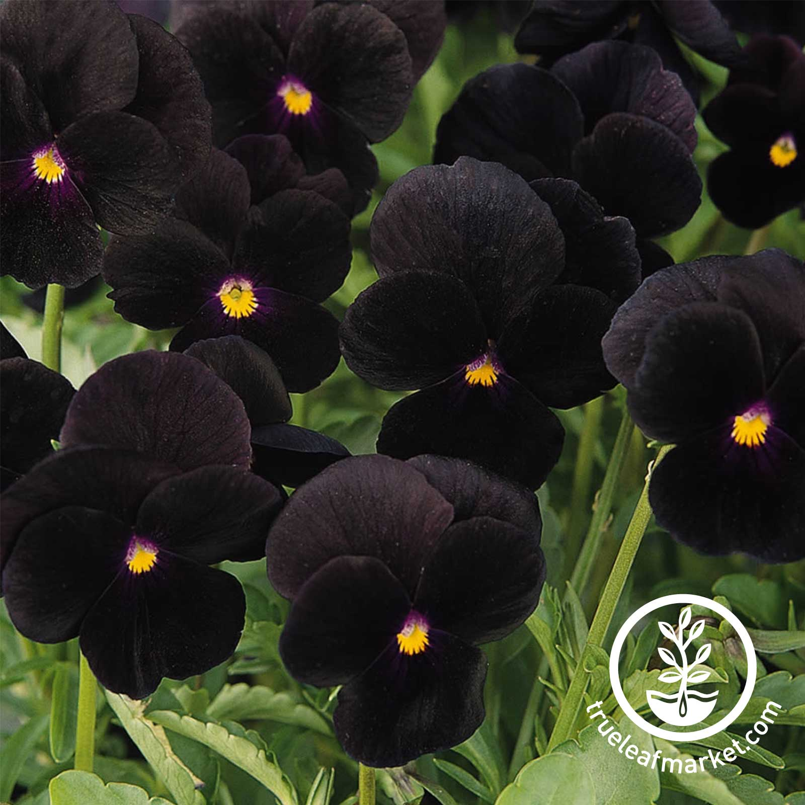 Viola Sorbet Series Black Delight Seed