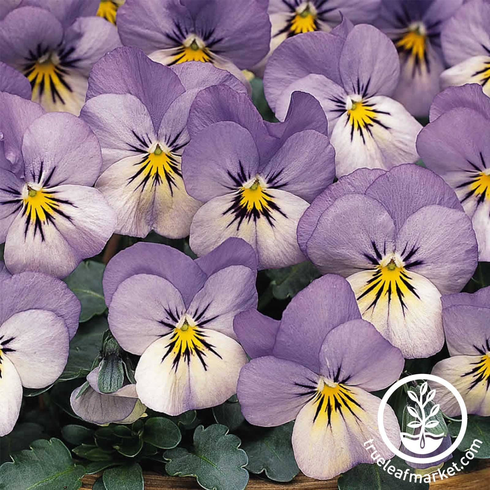 Viola Sorbet Series Blueberry Cream Seed