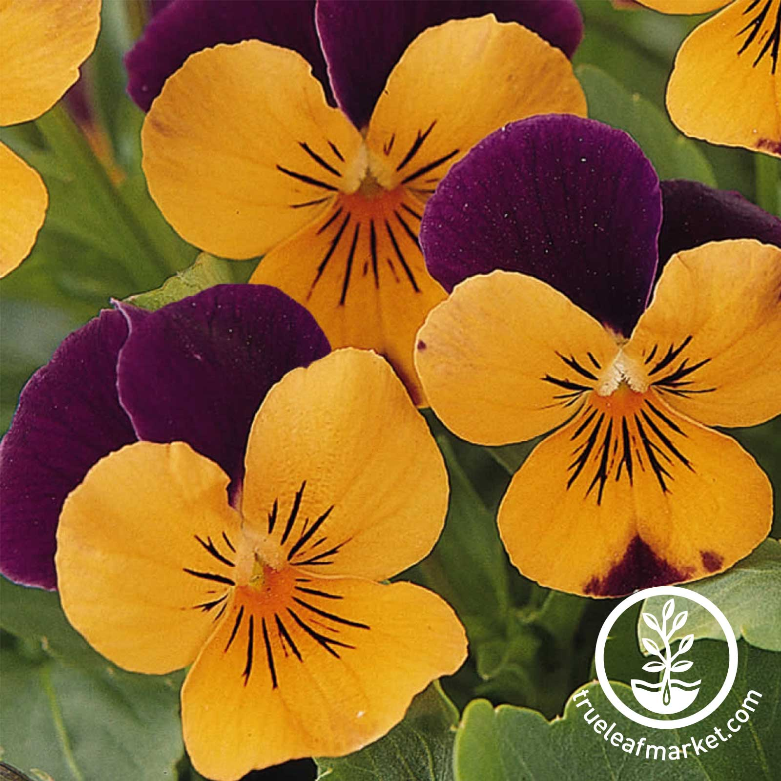 Viola Sorbet Series Orange Jump Up Seed