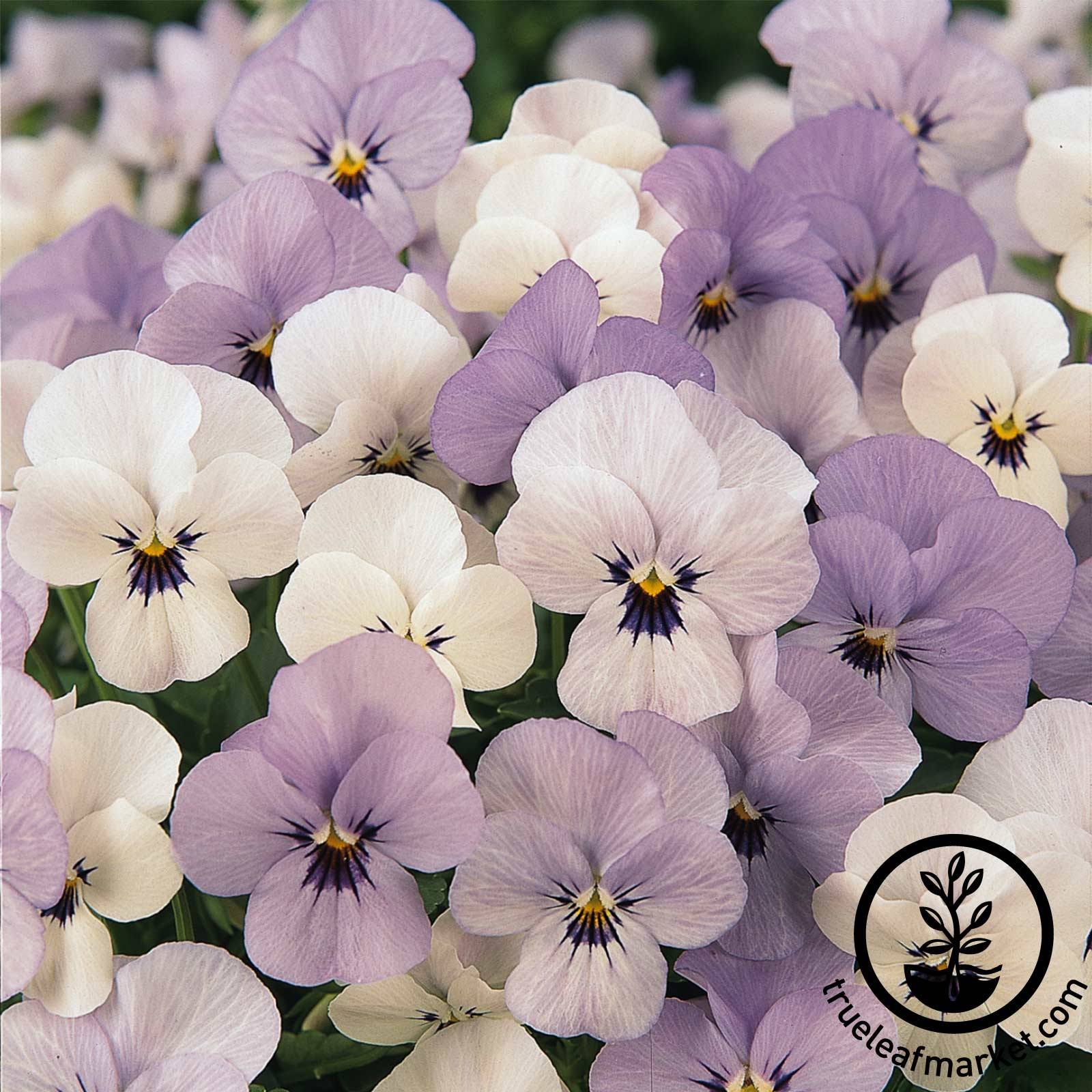 Viola Sorbet Series Yesterday Today Tomorrow Seed