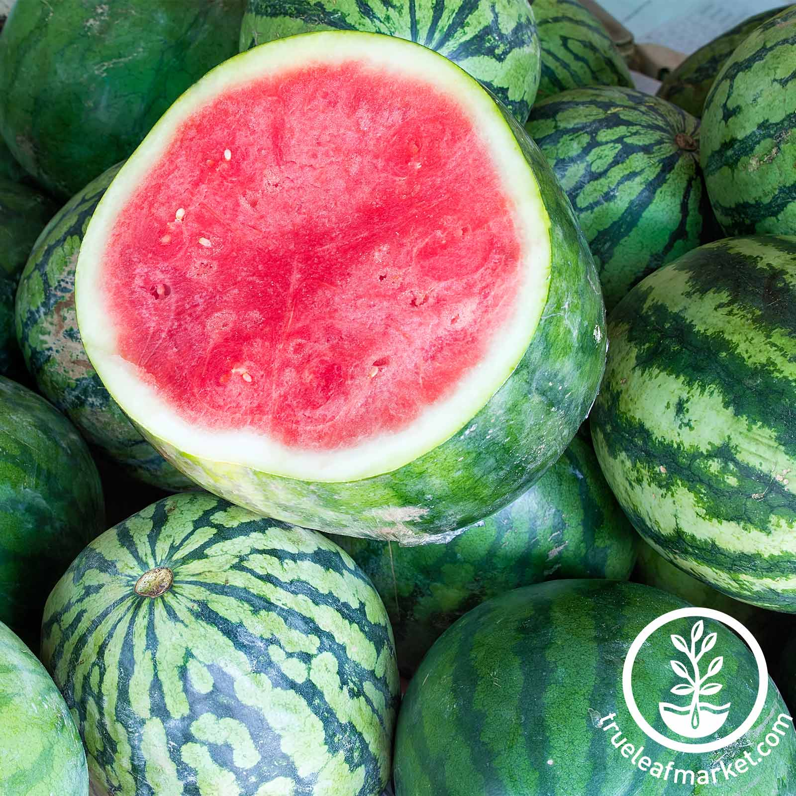 Watermelon Tasty Seedless Hybrid Seed