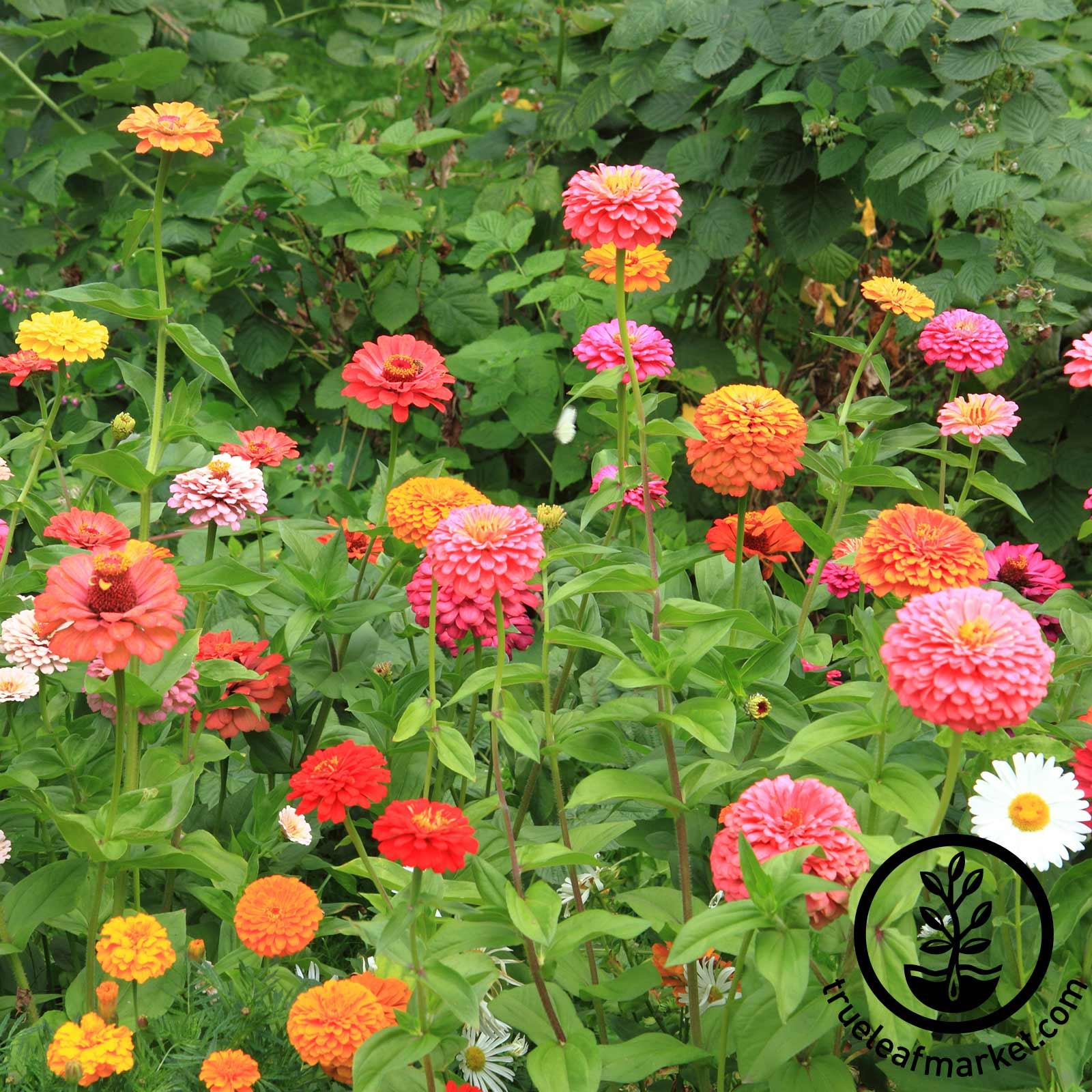 Zinnia California Giant Mix Seed