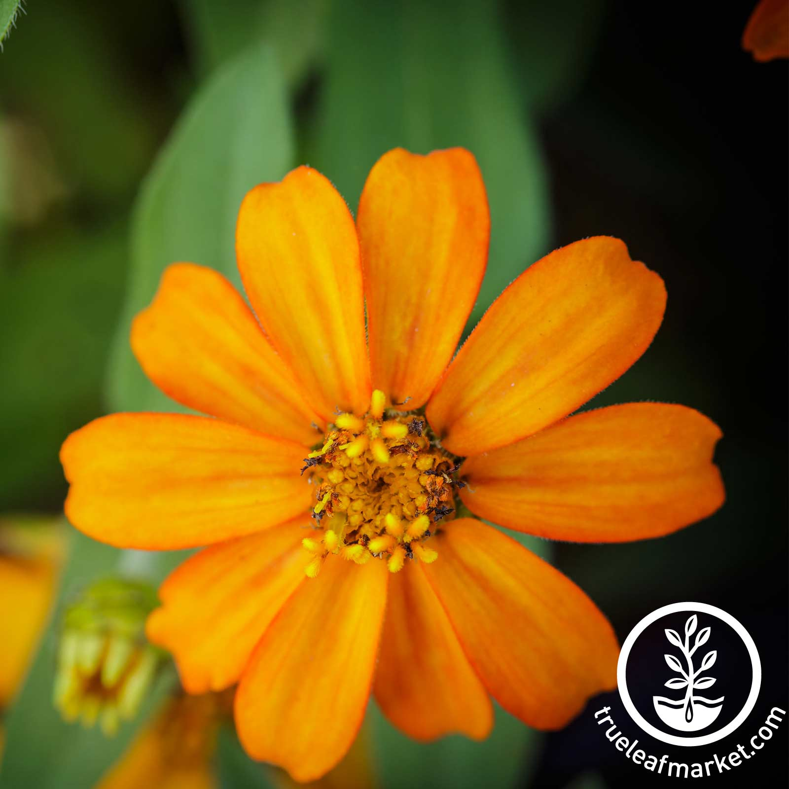 Zinnia Crystal Series Orange Seed