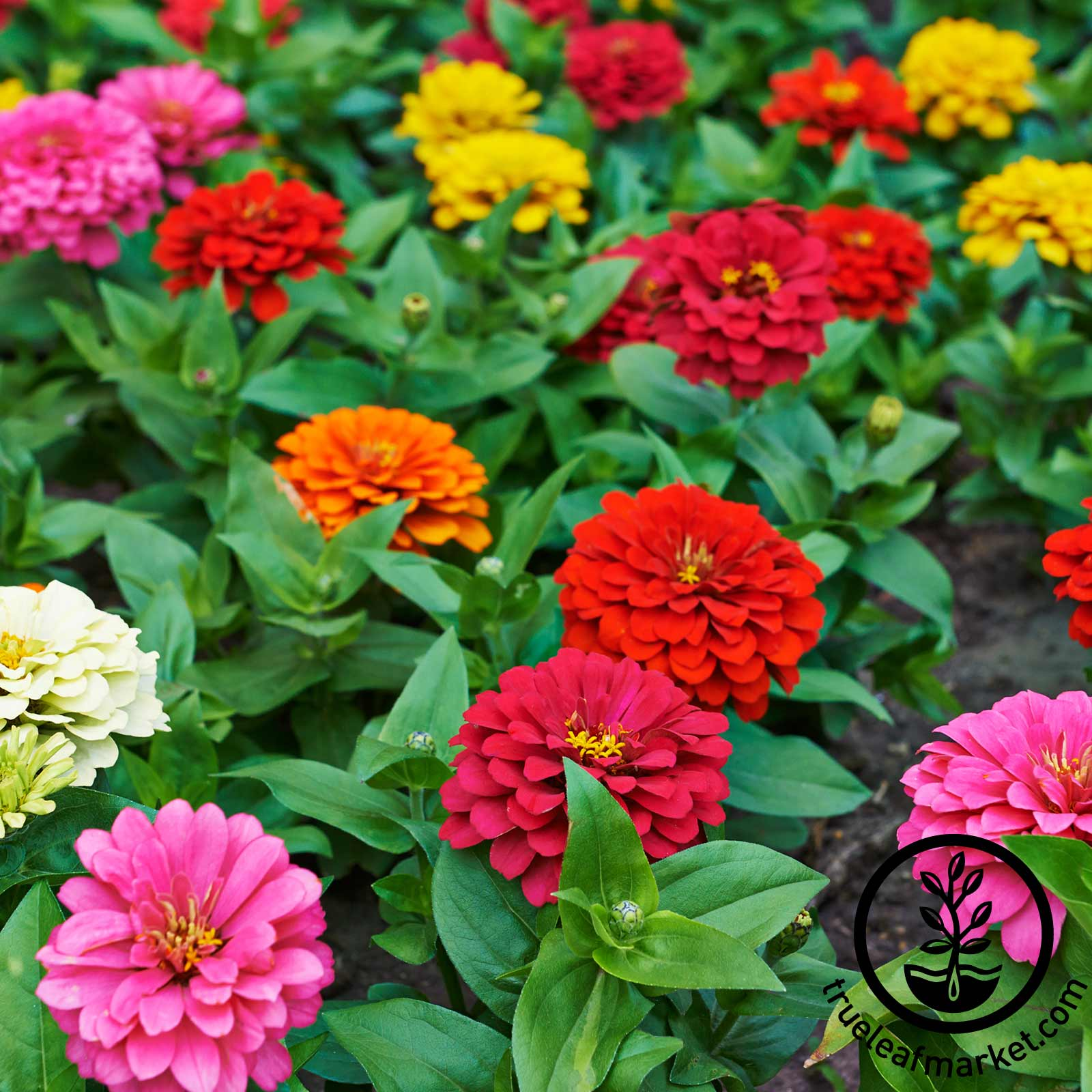 Zinnia Dahlia Flowered Mixture Seed