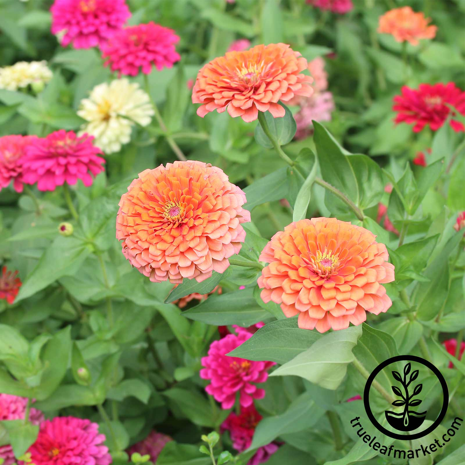 Zinnia Dreamland Mixture Seed