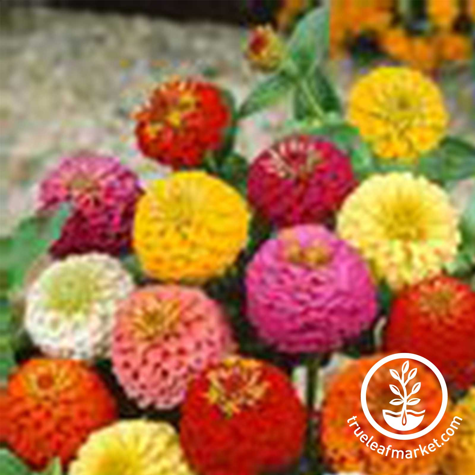 Zinnia Lilliput Mixture Seed