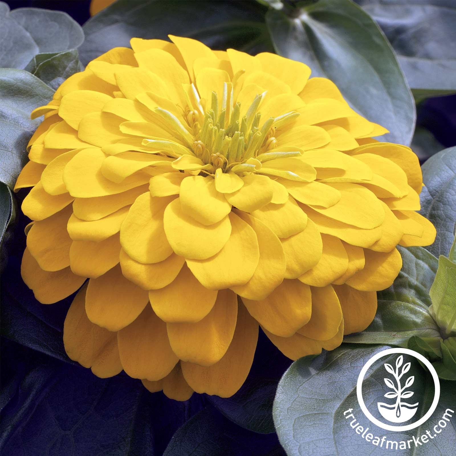 Zinnia Magellan Series Yellow Seed