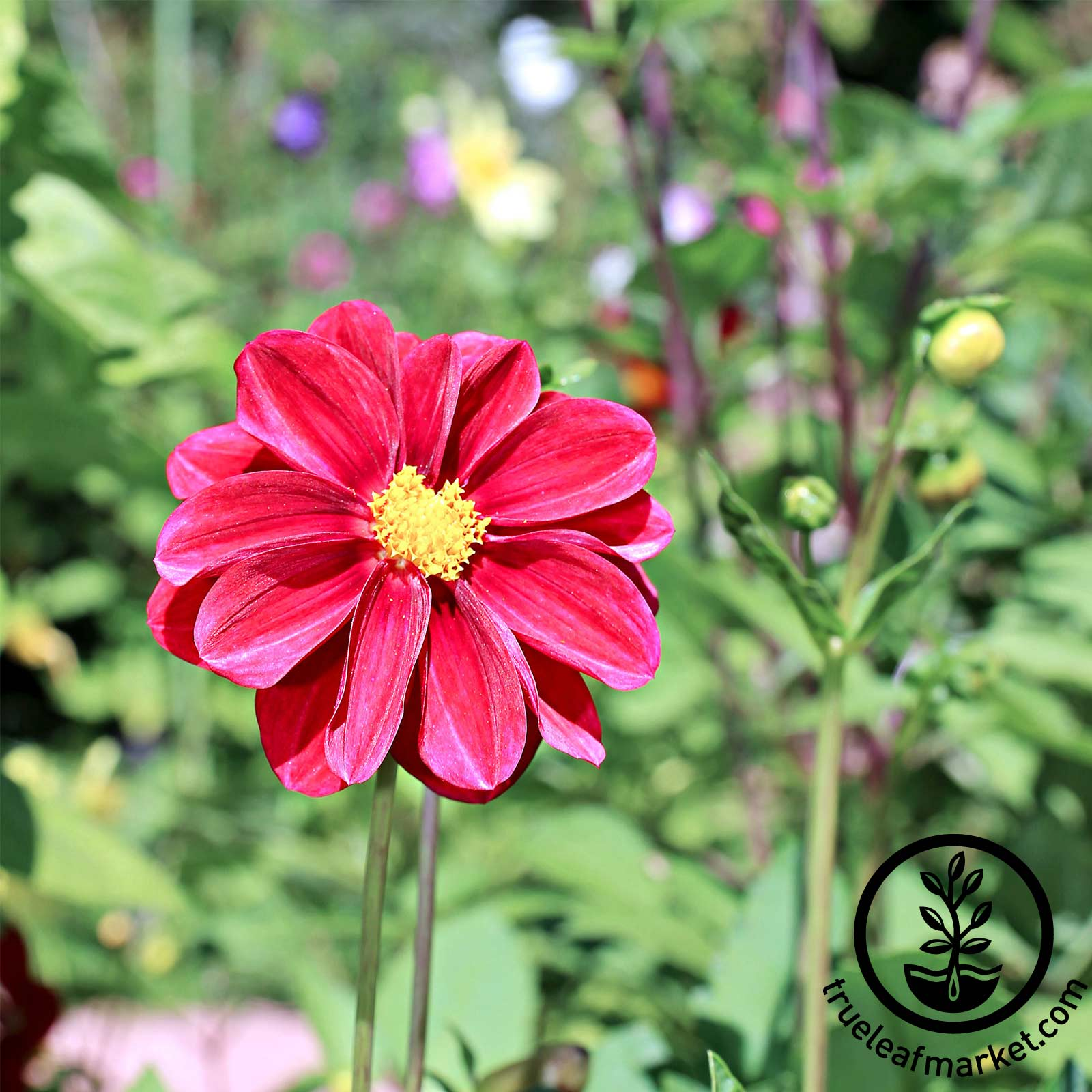 Zinnia Profusion Series Cherry Seed