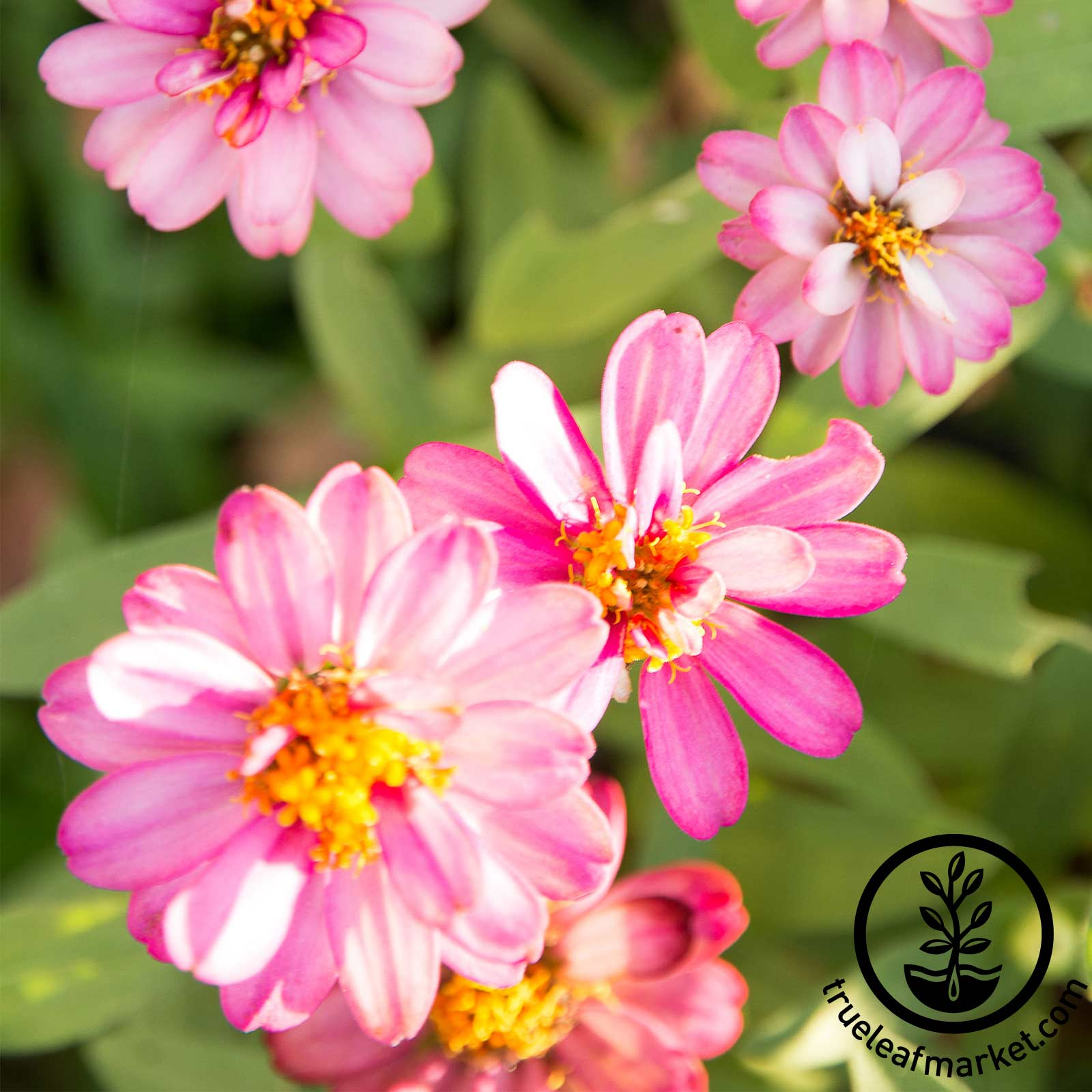 Zinnia Profusion Series Coral Pink Seed