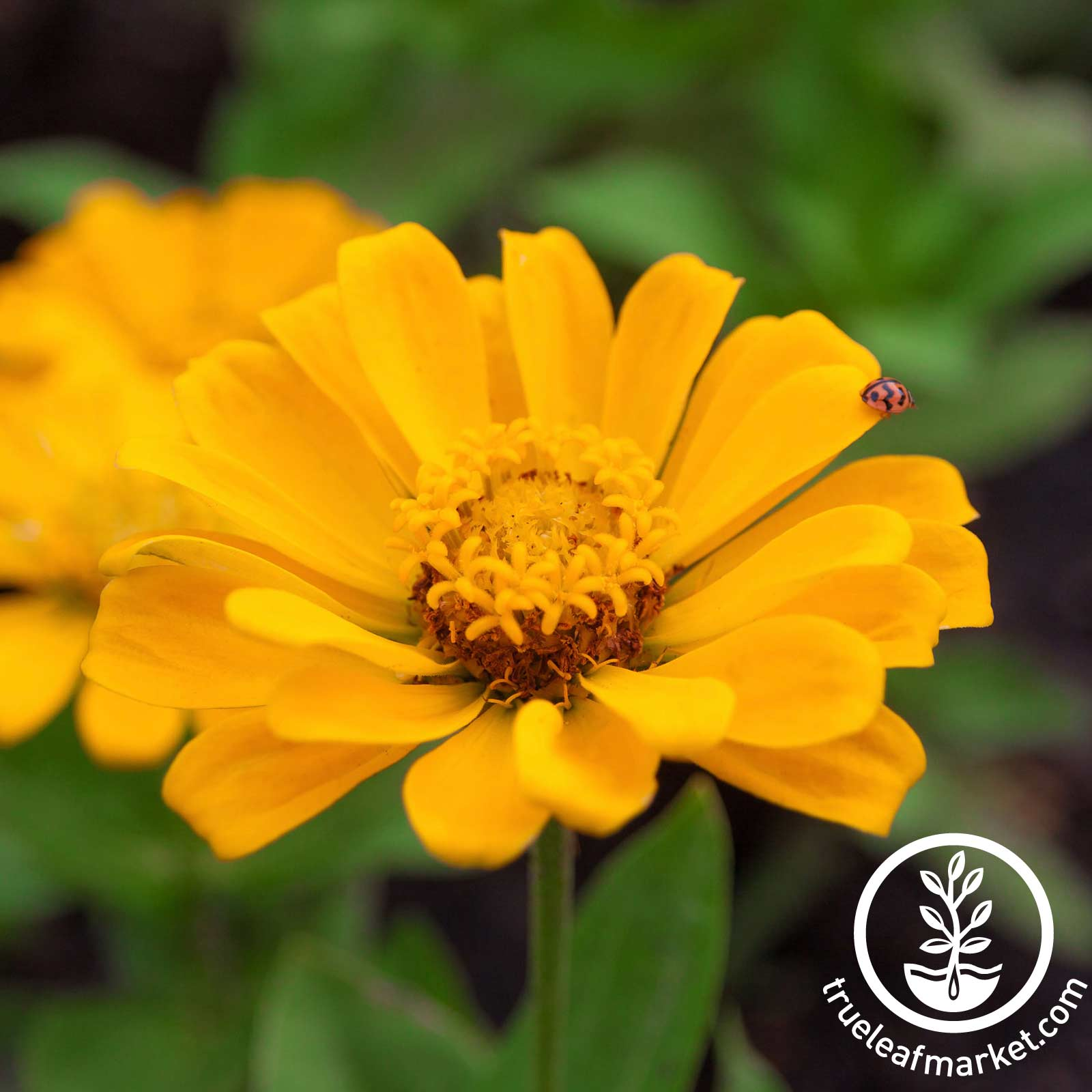 Zinnia Profusion Series Double Gold Seed