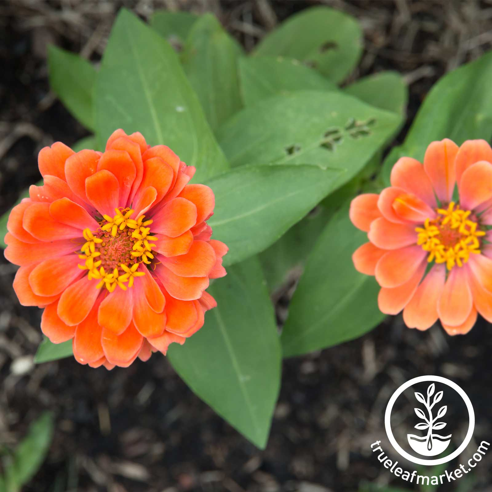 Zinnia - Profusion Series - Double Salmon Deep