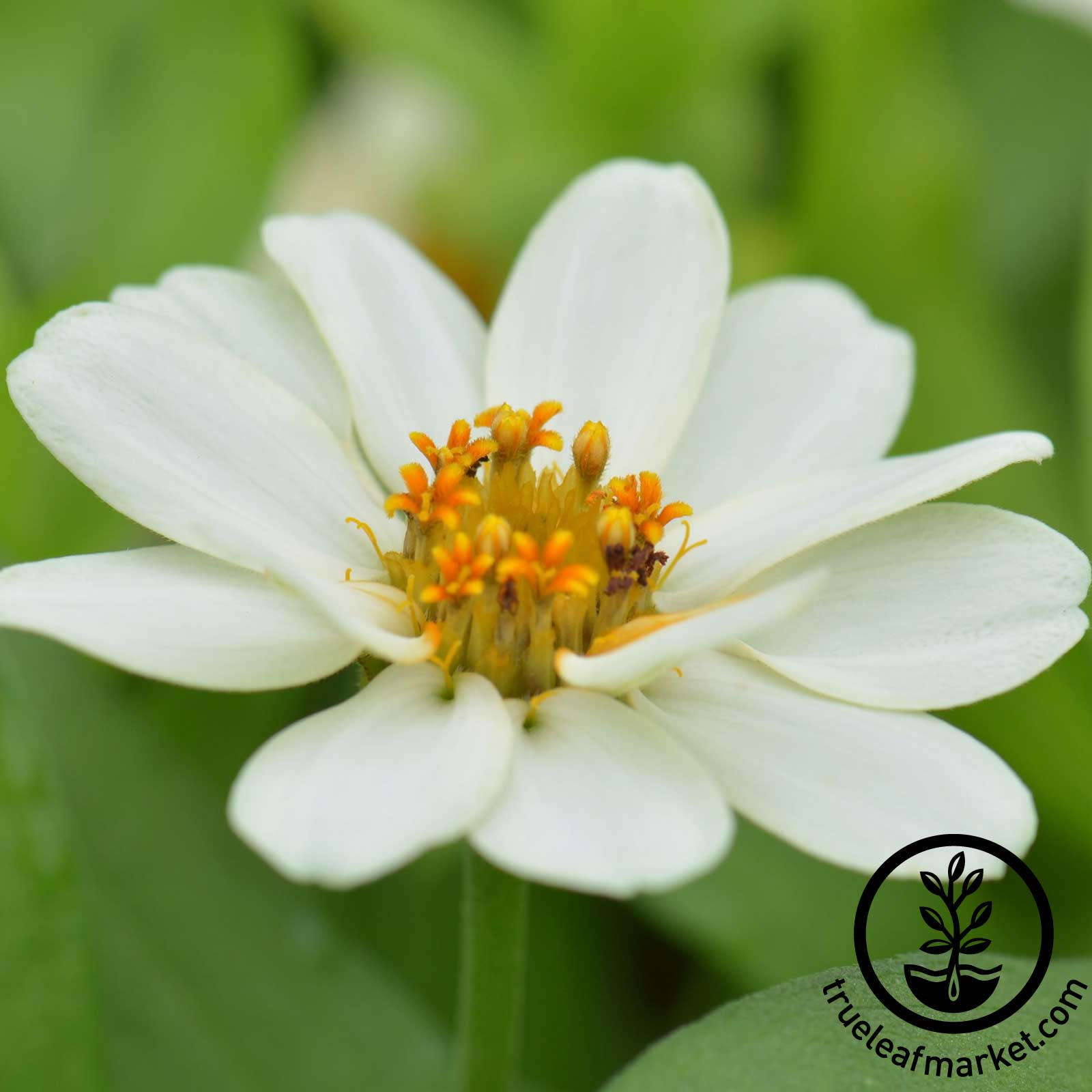 Zinnia Profusion Series Double White Seed