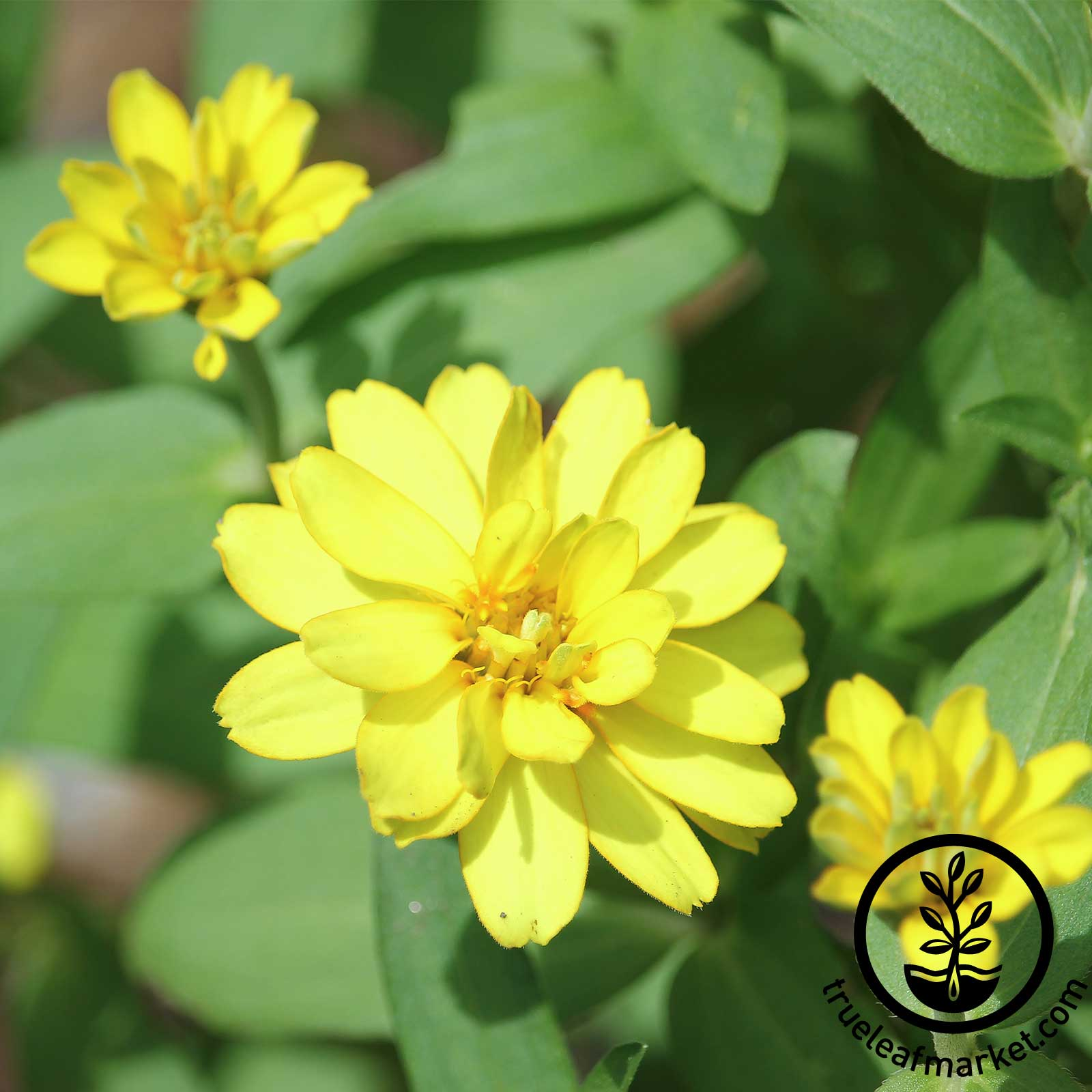 Zinnia - Profusion Series - Double Yellow