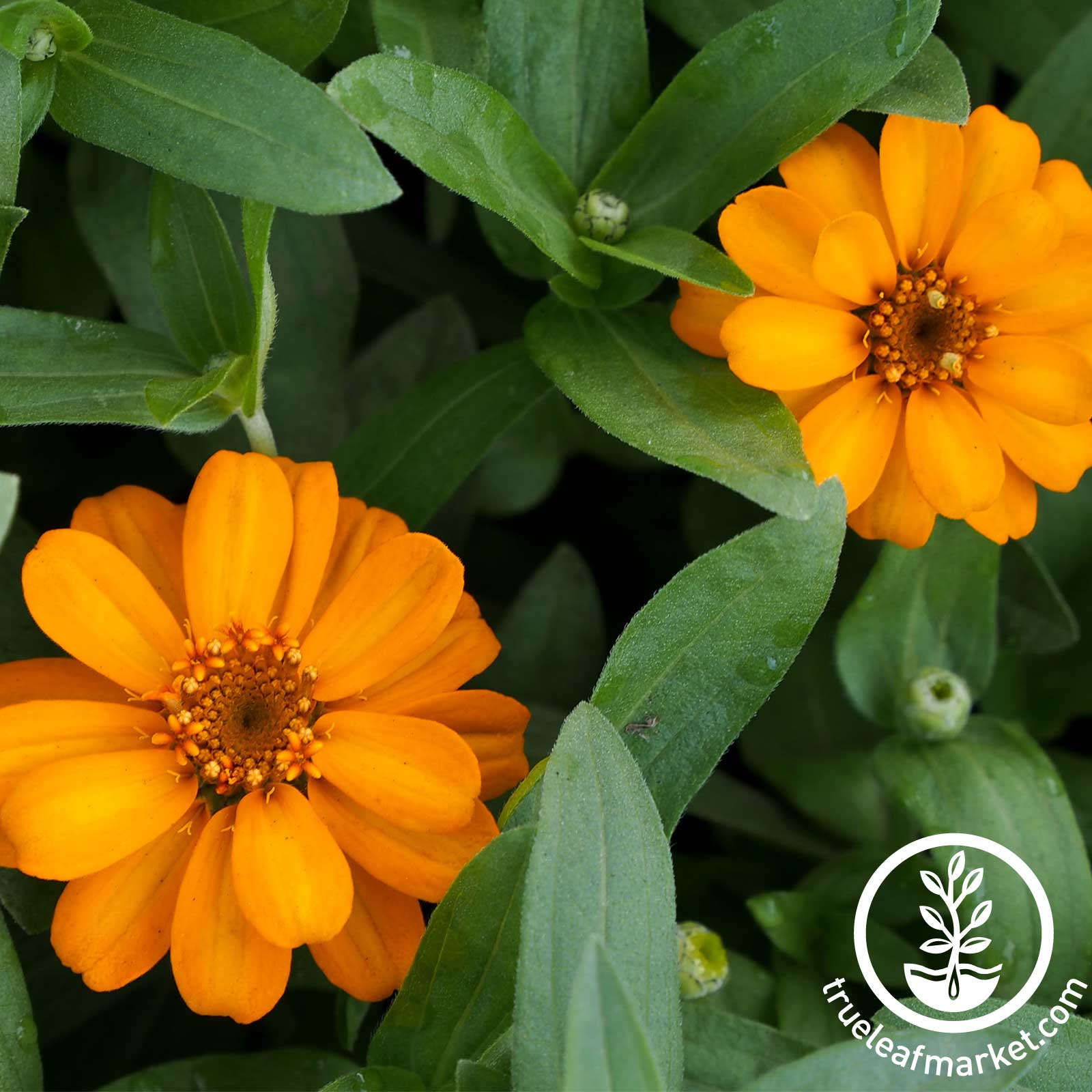 Zinnia Profusion Series Orange Seed