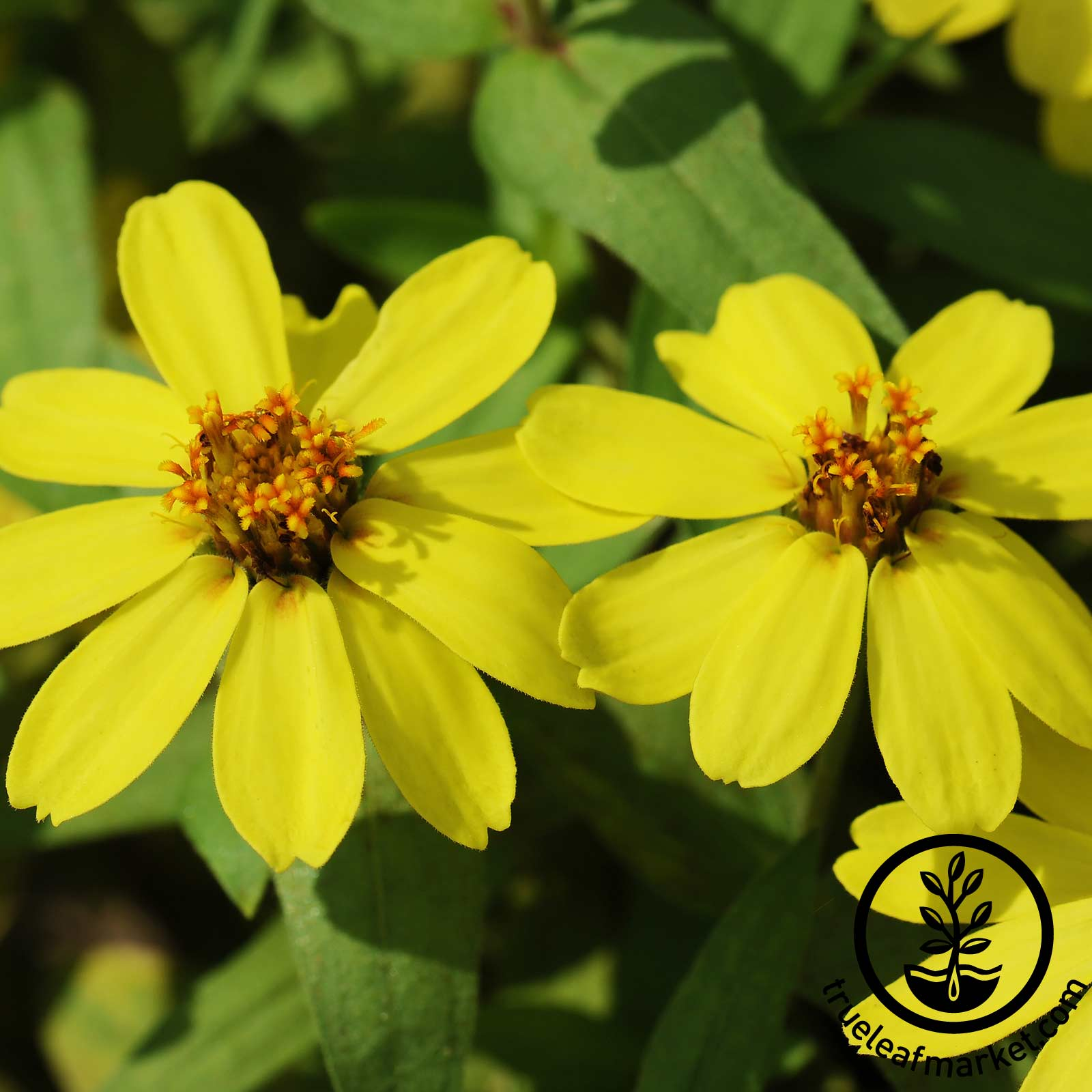 Zinnia Profusion Series Yellow Seed