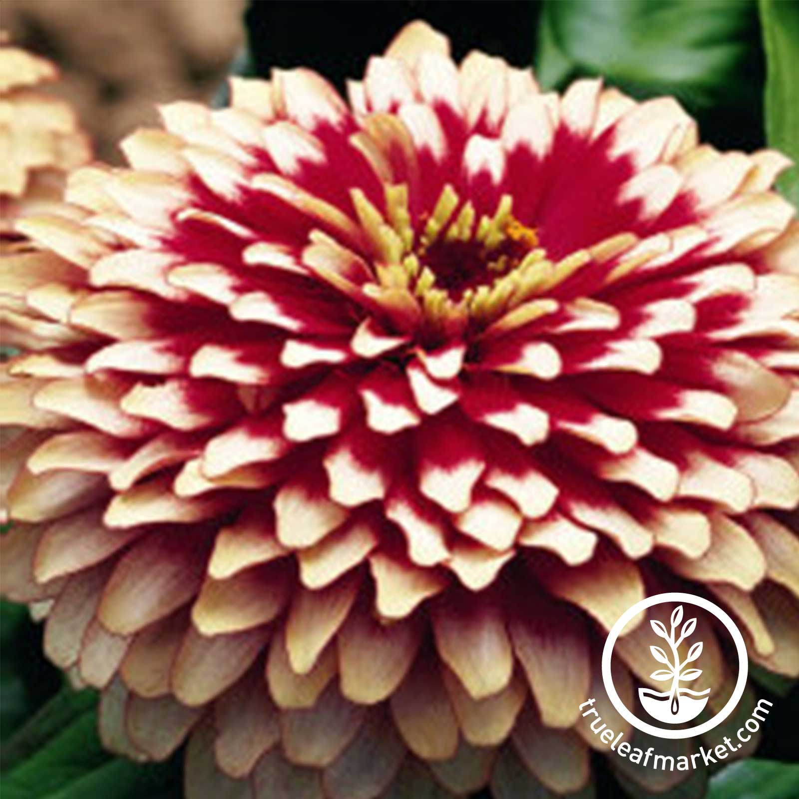 Zinnia Swizzle Series Cherry and Ivory Seed