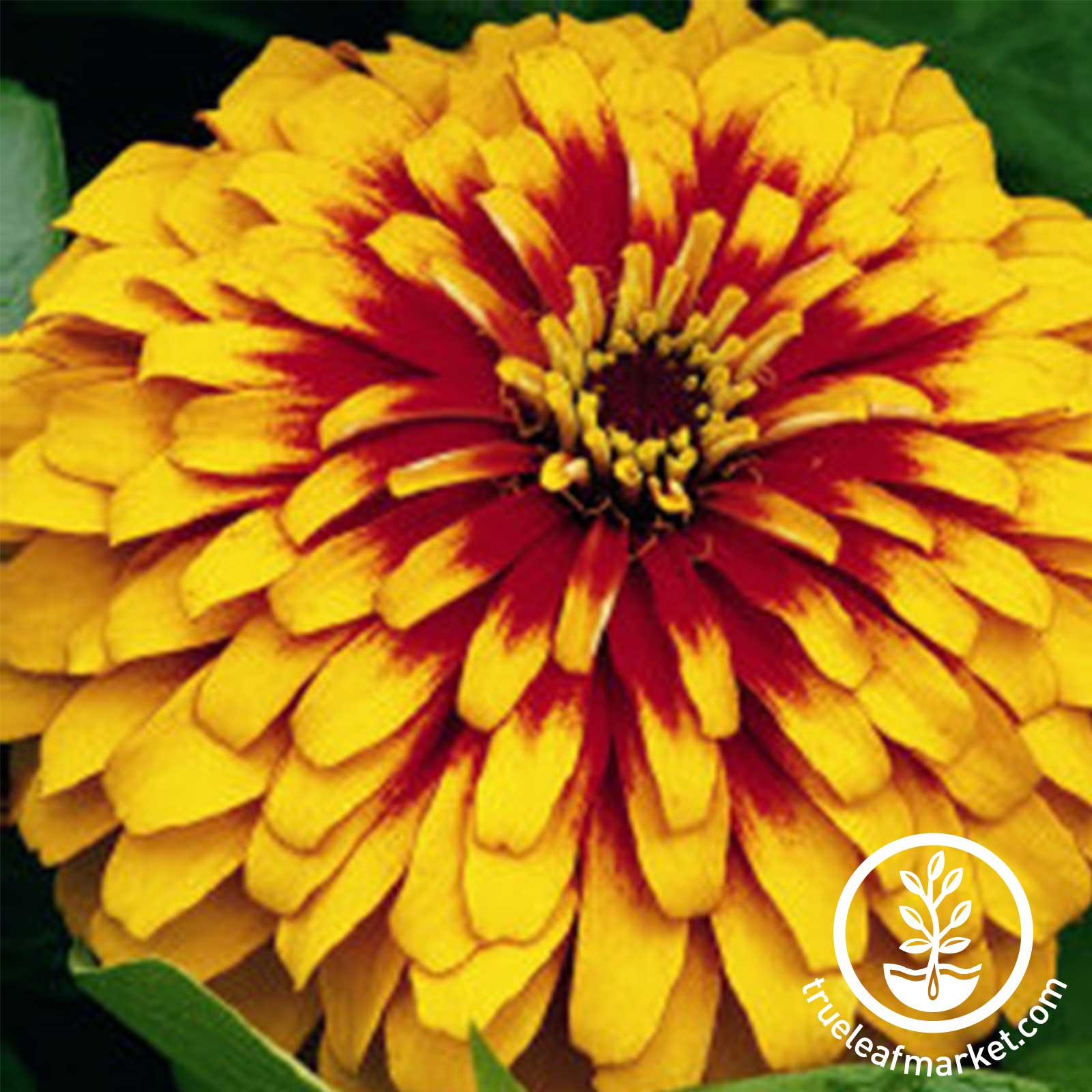 Zinnia Swizzle Series Scarlet and Yellow Seed