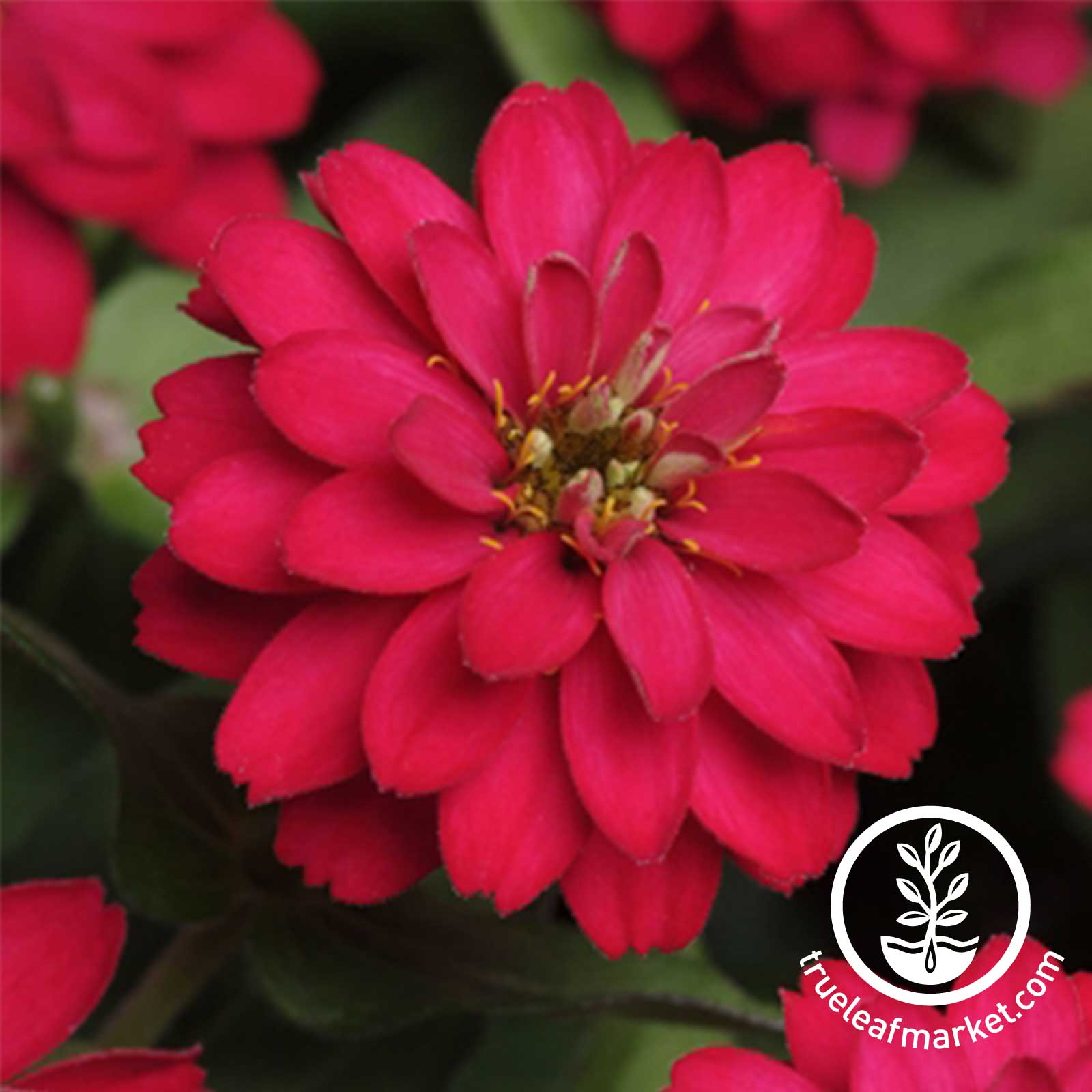 Zinnia Zahara Series Double Cherry Seed