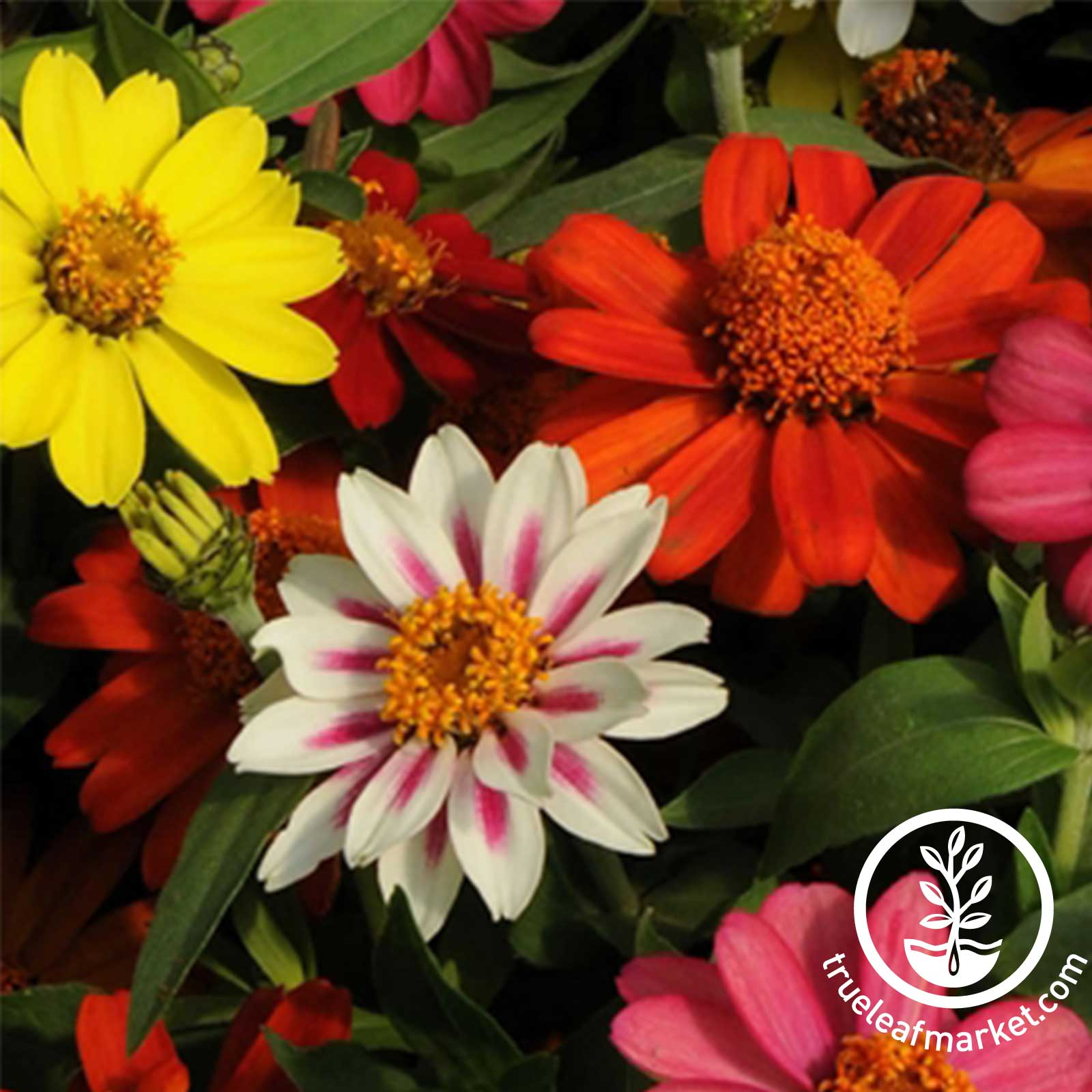 Zinnia Zahara Series Mix Seed