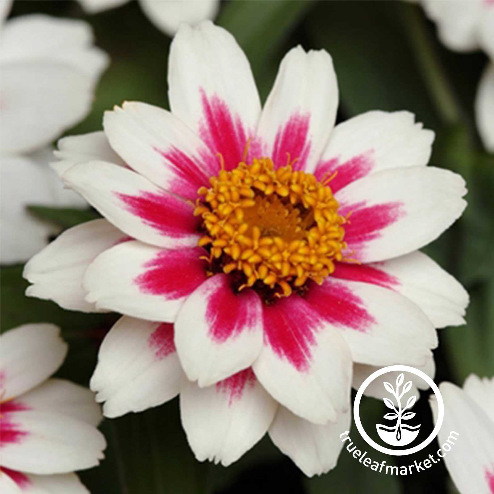 Zinnia Zahara Series Starlight Rose Seed