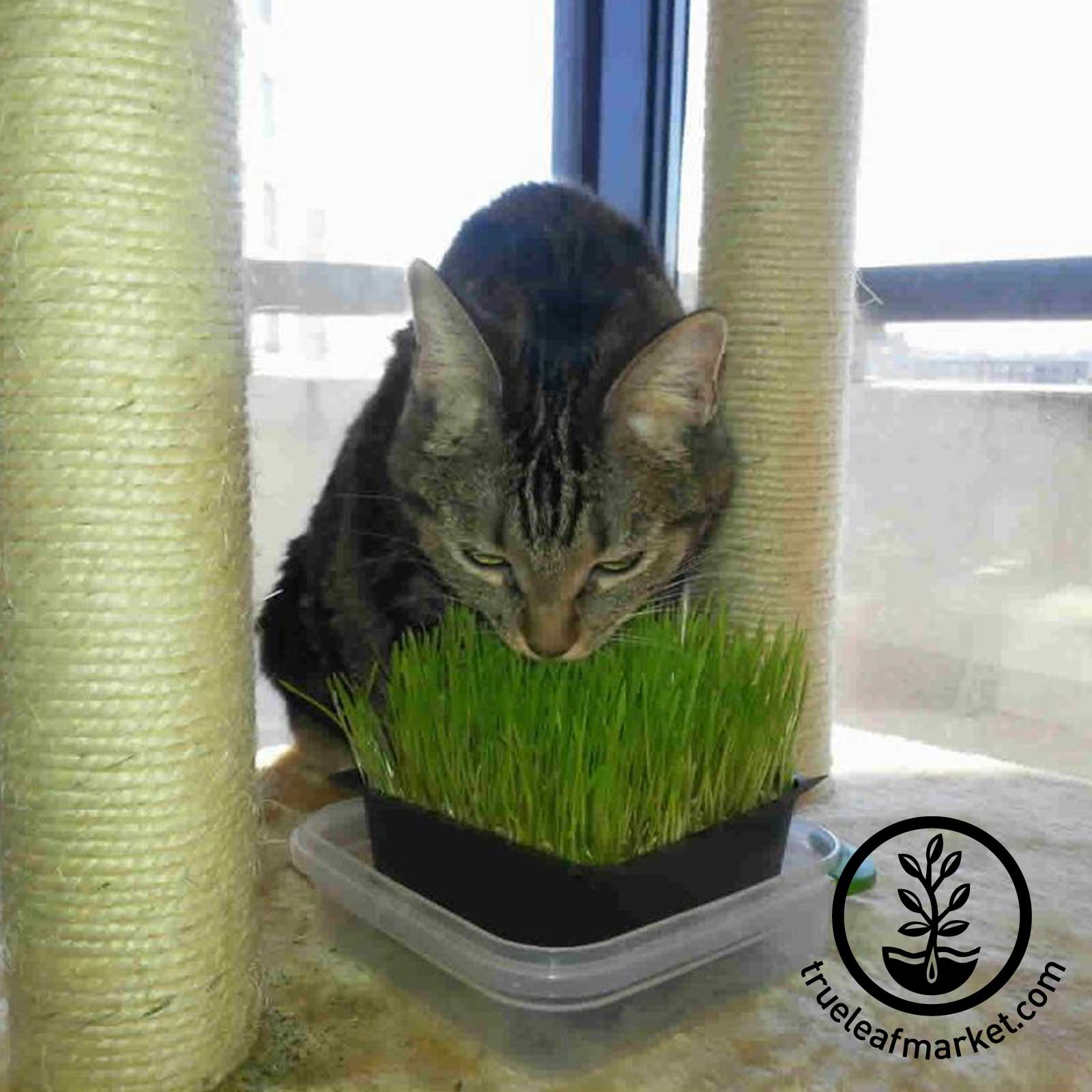 Cats Love Wheatgrass