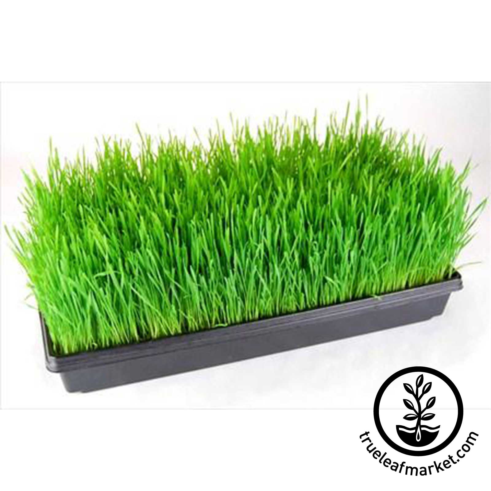 Organic Wheatgrass Grown in Trays