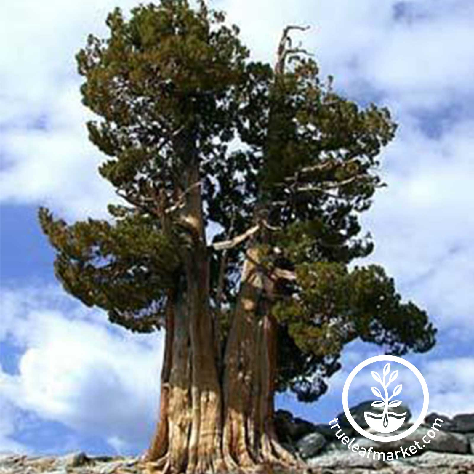 Fully Grown Ancient Bristlecone Pine Tree