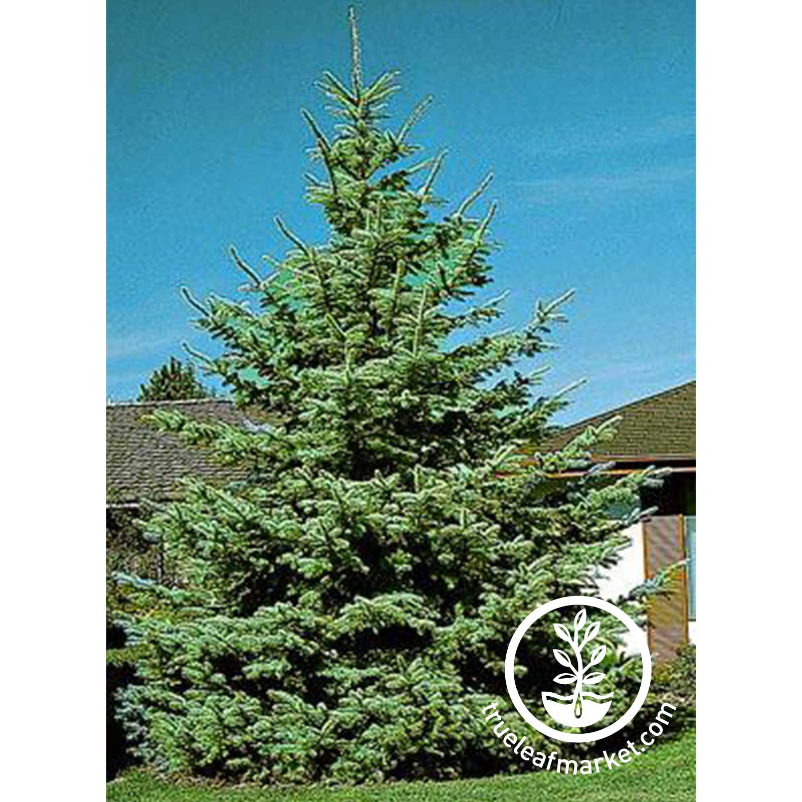Fully Grown Colorado Blue Spruce