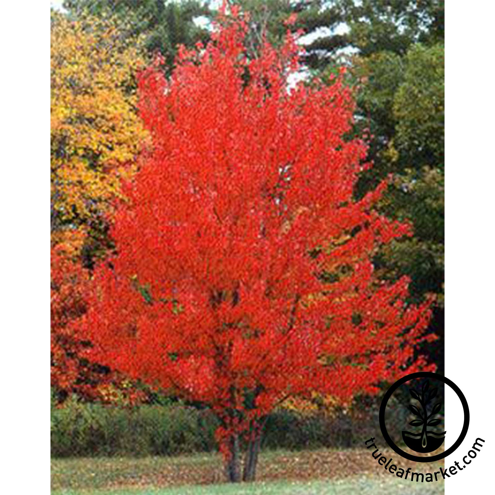 Red Maple in Autumn