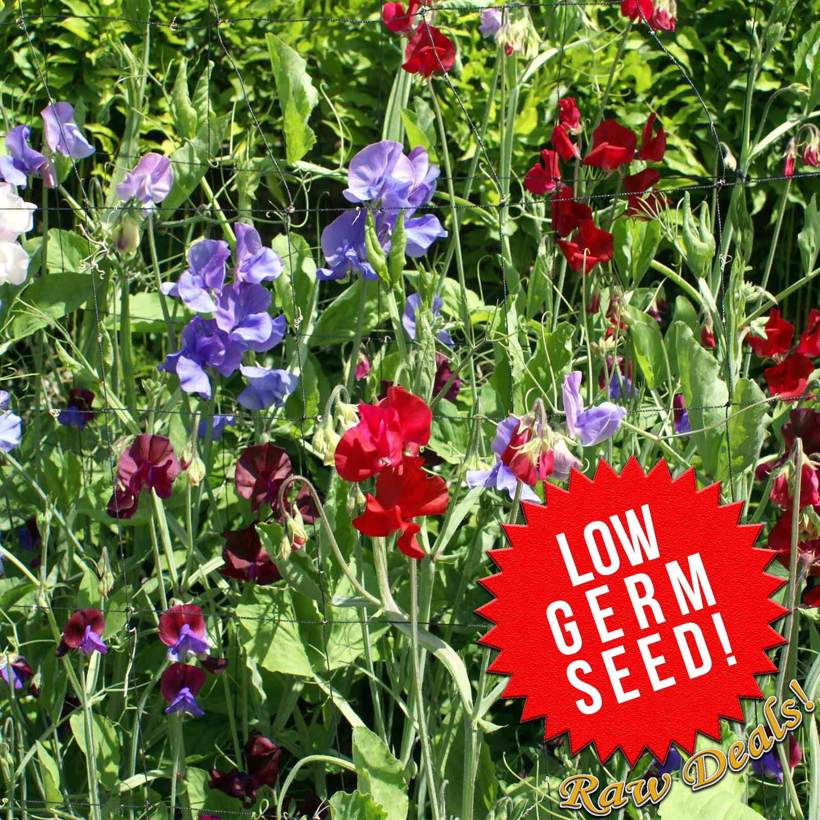 Low Germ - Sweet Pea - Royal Family Mixture Flower seeds, sweet pea seeds, Royal Family Mixture