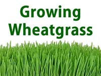 How to Grow Wheatgrass Starter Guide